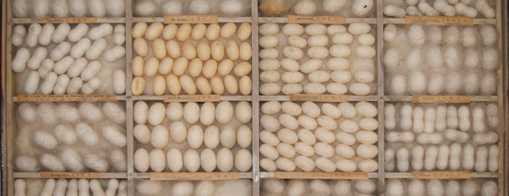 Different breeds of silk worm cocoons